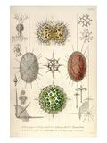 Dorataspis with Haliommatidium and Didymocyrtis Ceratospyris Prints by Ernst Haeckel