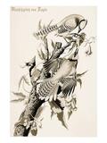 Blue Jay Posters by John James Audubon