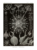 Phaeodaria Radiolarians Planscher av Ernst Haeckel