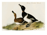 Ring Necked Duck Poster by John James Audubon