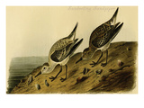 Sanderling Sandpiper Poster by John James Audubon