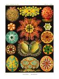 Ascidiae Kunstdrucke von Ernst Haeckel