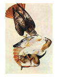 Red Tailed Hawk Posters by John James Audubon
