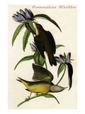 Connecticut Warbler Print by John James Audubon