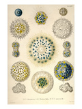 Amoeboid Protozoans Prints by Ernst Haeckel