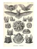 Flagermus Kunst af Ernst Haeckel