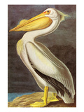 White Pelican Prints by John James Audubon