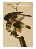 Rough Legged Falcon Print by John James Audubon