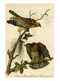 Red Shouldered Buzzard Prints by John James Audubon
