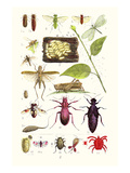 Glow-Worm, Lacewing Fly, Grasshopper,Scarlet Spider Prints by James Sowerby
