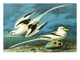 White-Tailed Tropic Bird Prints by John James Audubon