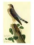 Pigeon Hawk Prints by John James Audubon