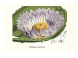 Giant Blue Waterlily Kunstdruck von Louis Van Houtte