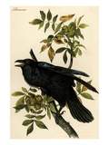 Raven Print by John James Audubon