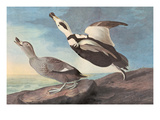 Untitled Print by John James Audubon