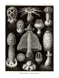 Funji Prints by Ernst Haeckel
