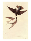 Tree Swallow Art by John James Audubon