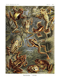Frogs Poster by Ernst Haeckel
