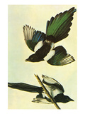 Mallard Posters by John James Audubon
