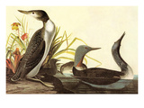 Red-Throated Loon Prints by John James Audubon