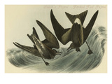 Leach's Petrel - Forked Tail Petrel Art by John James Audubon
