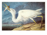 Great White Heron Print by John James Audubon