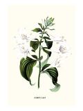 Corfu Lily Print by Louis Van Houtte