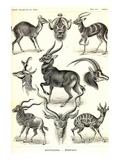 Antilopina Plakater af Ernst Haeckel
