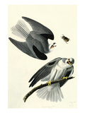 White Tailed Kite Affiches par John James Audubon