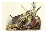 Green Heron Print by John James Audubon