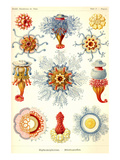 Siphoneae Hydrozoa Posters by Ernst Haeckel