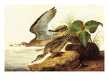 Upland Plover Prints by John James Audubon