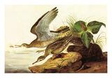 Upland Plover Poster by John James Audubon