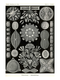 Diatoms Prints by Ernst Haeckel