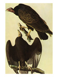 Turkey Vulture Prints by John James Audubon