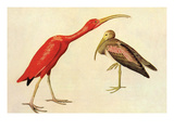 Scarlet Ibis Art by John James Audubon