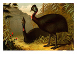 Cassowaries Prints by F.W. Kuhnert