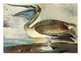 Brown Pelican Art by John James Audubon