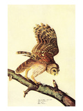 Barred Owl Prints by John James Audubon