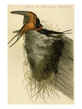 Barn or Chimney Swallow Posters by John James Audubon