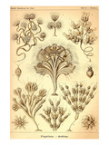 Flagellates Posters by Ernst Haeckel