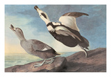 Labrador Duck Prints by John James Audubon