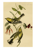 Black Throated Green Wood Warbler Art by John James Audubon