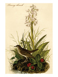 Tawny Thrush Print by John James Audubon