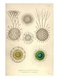 Rhaphidoccus Acufer, Cladococcus, C. Viminalis, C. Cervicornis Affischer av Ernst Haeckel