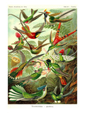 Hummingbirds Premium Giclee Print by Ernst Haeckel
