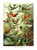 Kolibrier Posters av Ernst Haeckel