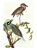 Yellow Crowned Night Heron and Little Blue Heron Prints by John James Audubon
