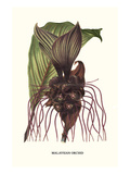 Malaysian Orchid Poster von Louis Van Houtte