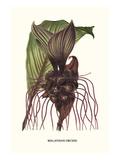 Malaysian Orchid Poster von Louis Van Houtte